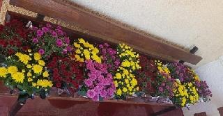 Η υποδοχή του χειμώνα με χρυσάνθεμα και ζουμπούλια στην Τ.Κ. Μέλισσας