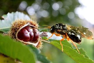 Βιολογική καταπολέμηση της σφήκας της καστανιάς- εξαπόλυση ωφέλιμου παρασιτοειδούς εντόμου